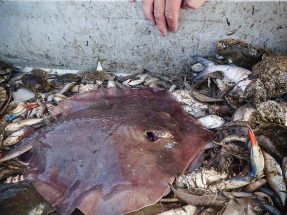 Stingray, crabs, and shrimp